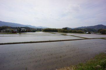田植えが始まった鴨川の水田