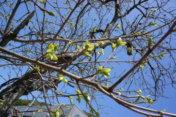 新芽が出始めた柿の木