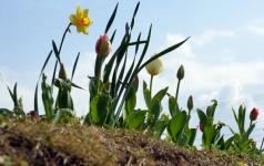 開花直前のチューリップ